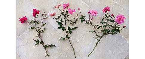 Cutting-Rose-for-Bouquets
