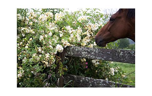 Horse-and-Aglaia-Rose