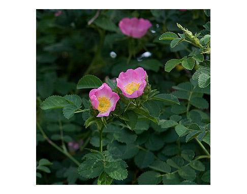 Rosa-Eglantine-in-Spring