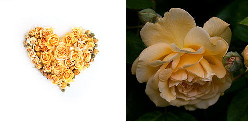 Golden Rose Heart Golden Rose Hearts