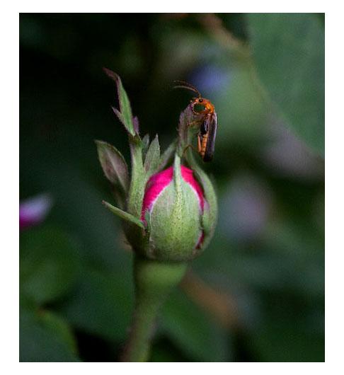 Leatherwing-Beetle-on-Rose-de-Rescht