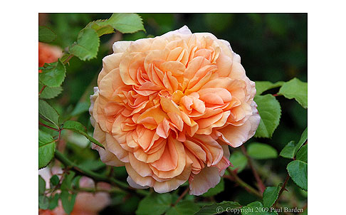 Janet-Inada-Rose
