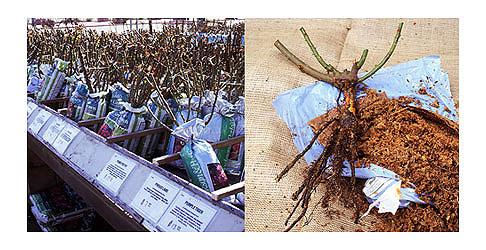 Bare Root Nursery Plants