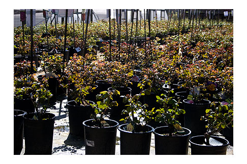 Potted-Nursery-Roses