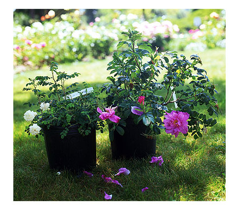 2-potted-roses