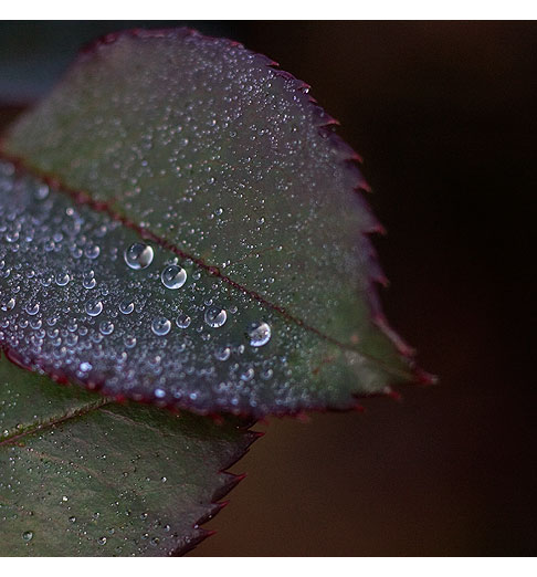 Rose-Leaf-with-Dew