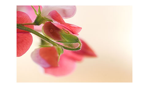 Painted-lady-sweet-peas