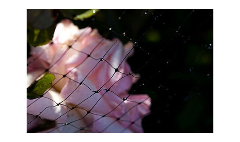 Deer-net-on-pink-rose