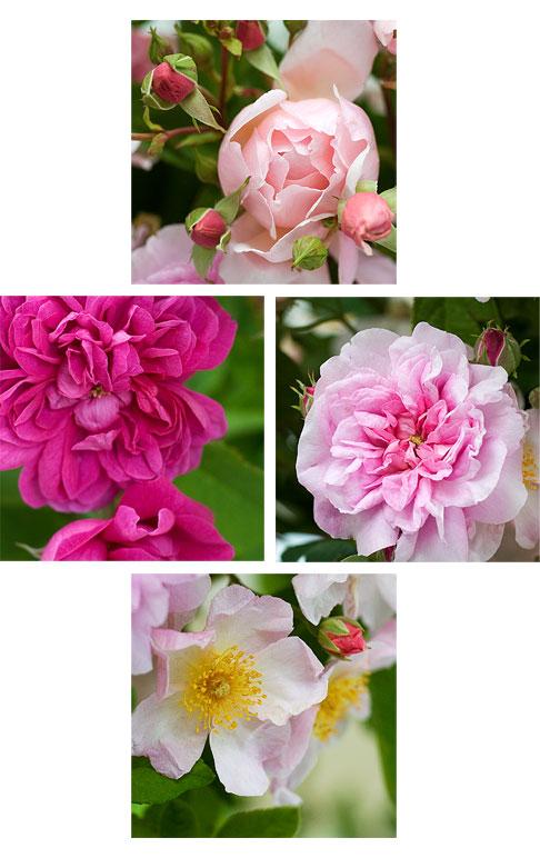 Albertine-Glendora-Isphahan-Kathleen-Roses