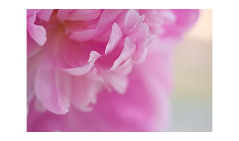 Pink-peony-close-up