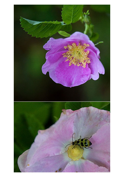 Cumcumber-Beetle-in-Roses