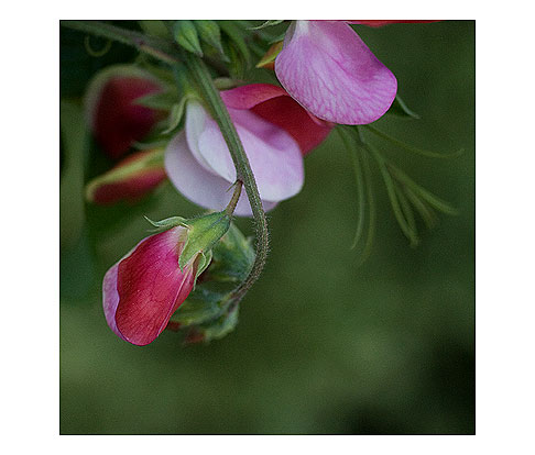 Painted-Lady-Sweet-Pea