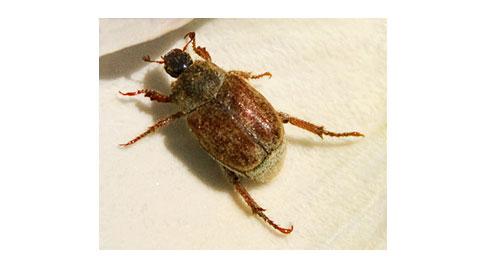 Hoplia-Beetle
