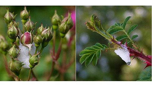 Rose Pests Bad Bugs Rose Notes