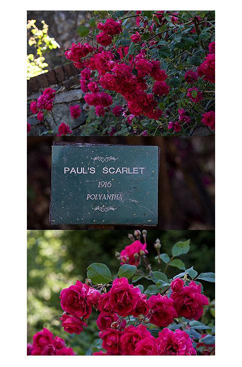 Paul's-Scarlet