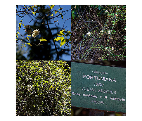Fortuniana-Rose