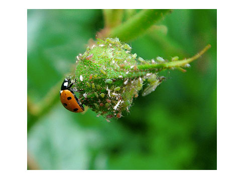 Lady-Bug-and-Apids