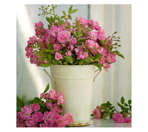 Bucket-of-Peggy-Martin-Roses