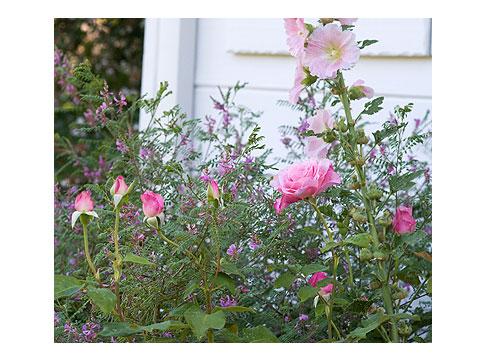 Hollyhocks-&-Roses