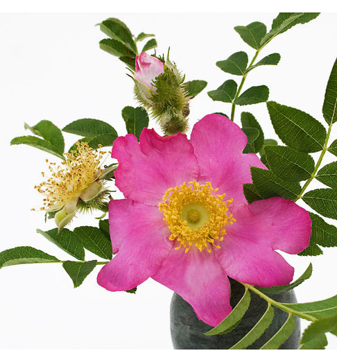 Rosa-Roxburghii
