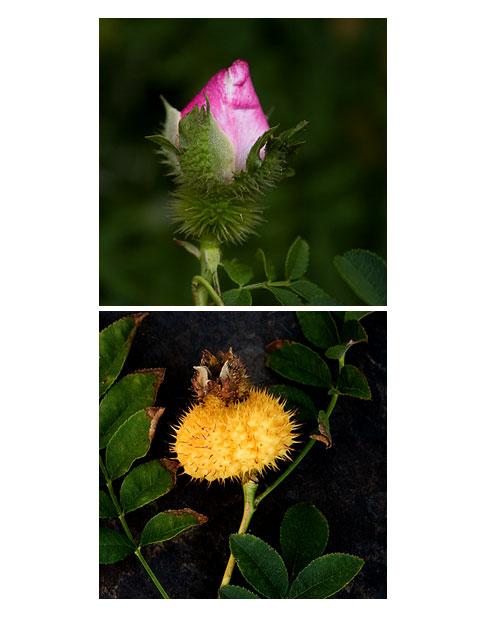 Chestnut-Rose-Buds