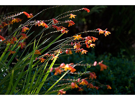 Crocosmia Lucifer George Davidson Solfaterre Rose Notes