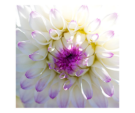 Purple-Edge-Dahlia