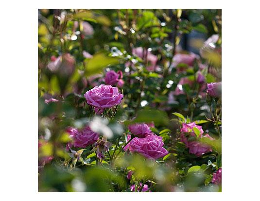 Hermosa-in-the-Garden-2