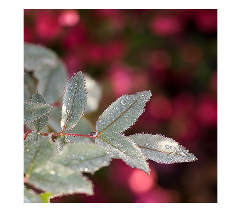 Rosa-Glauca-Leaves