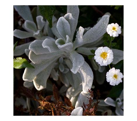 Grey-plant