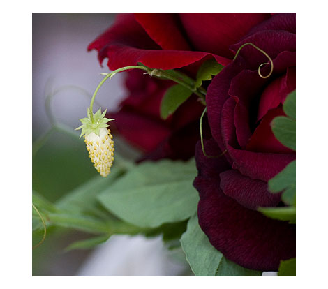Red-Rose-White-Strawberry