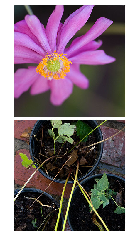 Japanese-Anenome
