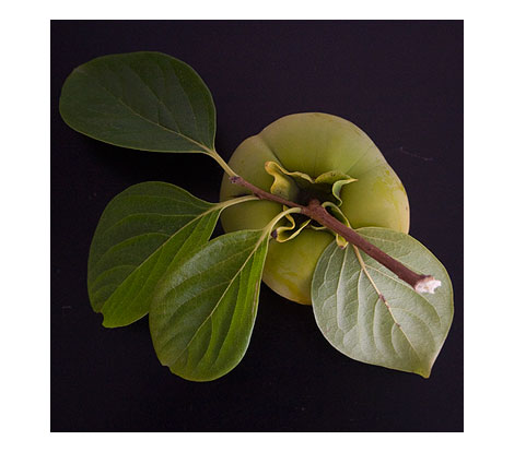 Green-persimmon-2