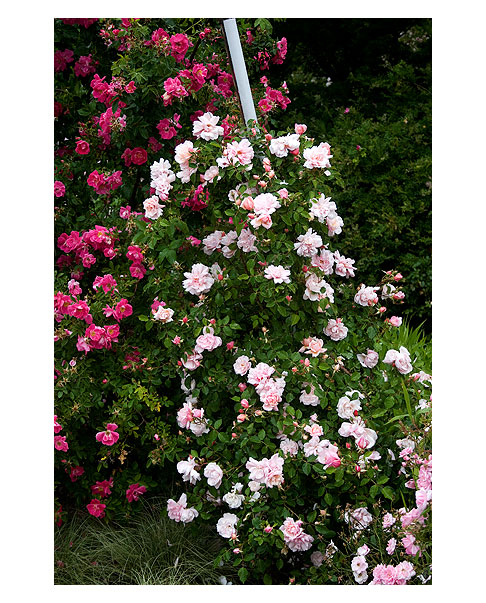 Albertine-Climbing-Rose