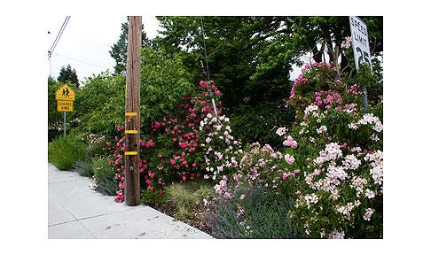 Side-Rose-Garden