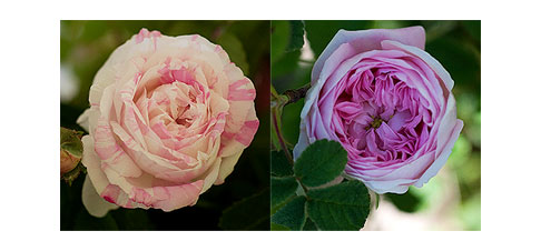 2-pink-roses