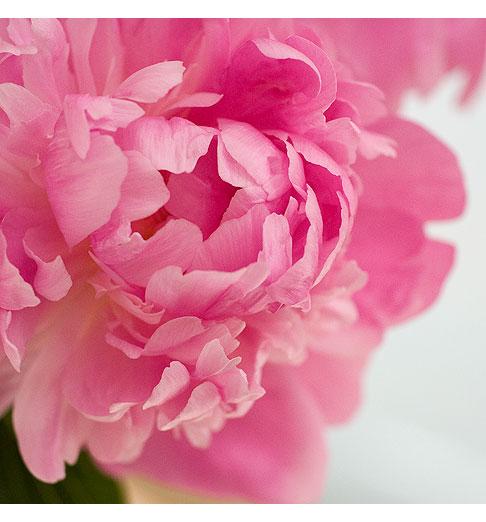 Peony rose notes pink peony one poem mightylinksfo Images