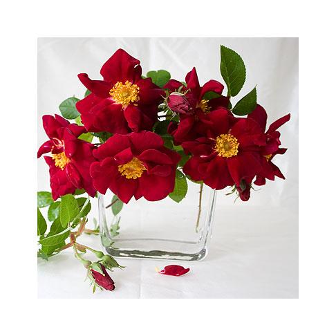 James-Mason-Rose-in-Glass-Vase