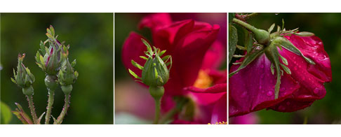 James-Mason-Rose-Buds-1