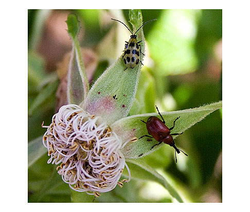Curculio-and-Cucumber-Beetle