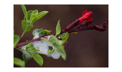 Spit-Bug-on-Salvia