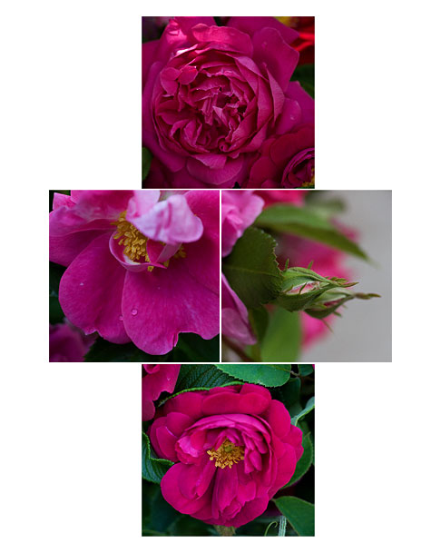 Bright-Pink-Roses
