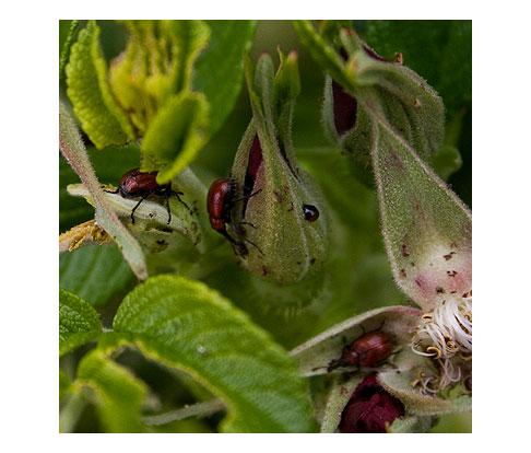 Three-Curculio-Beetles