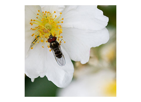 Flower-Fly-on-a-Rose