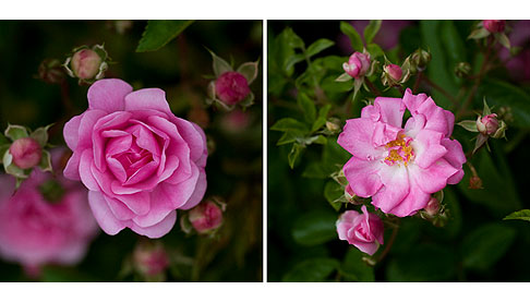 Peggy-Martin-Rose-Blooms