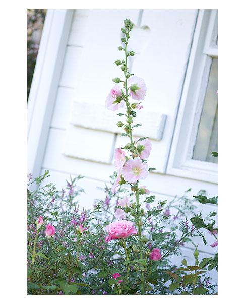 Roses-&-Hollyhocks