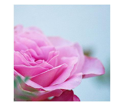 Sweet-Surrender-rose