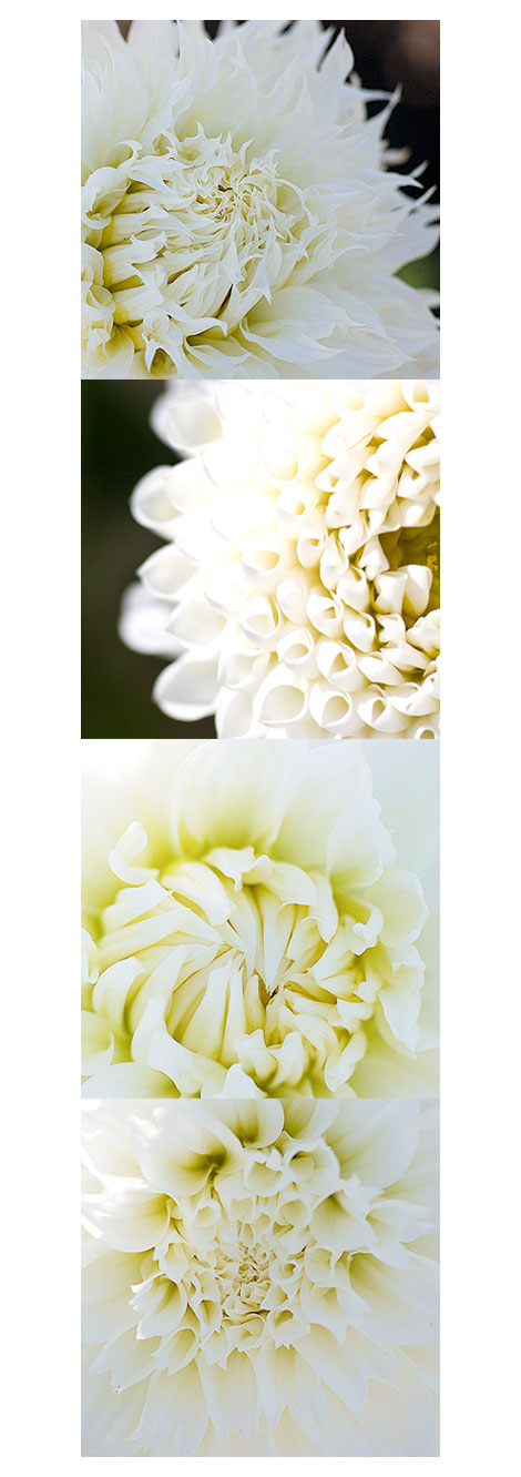Four-White-Dahlias