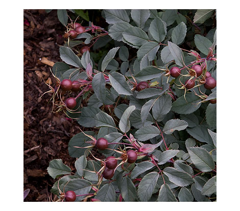 R.-glauca-hips-on-shrub