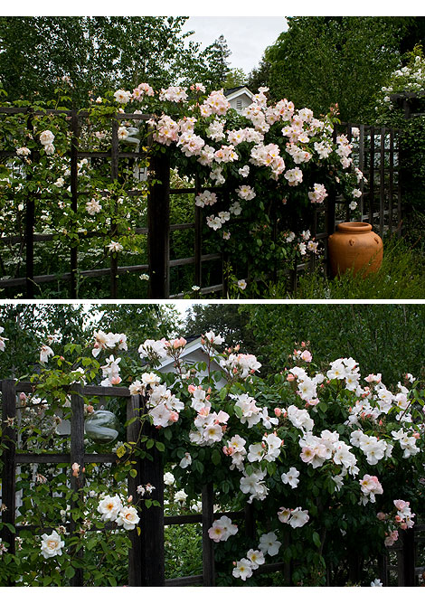 Sally-Holmes-Rose-on-Fence
